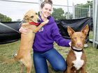 The 3rd annual Animal Rescue and Education Festival held at Maroochydore Union Grounds, (L-R) Kat Bullen gets kisses from Tara and Rusty Photo: Jason Dougherty / Sunshine Coast Daily