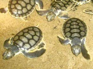 Turtle trackers reveal mysterious flatbacks' lives
