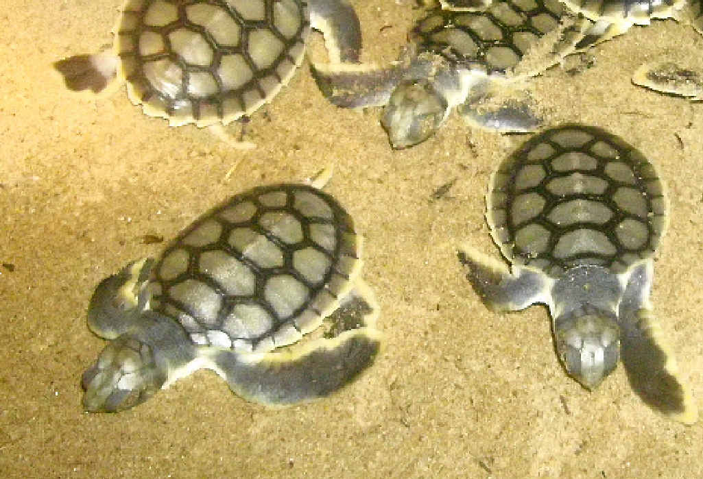 LONG JOURNEY: A couple of flatback turtle hatchlings have made it 100km away in a fortnight.