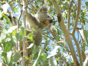 Green Army launches battle to help koalas at Tullera