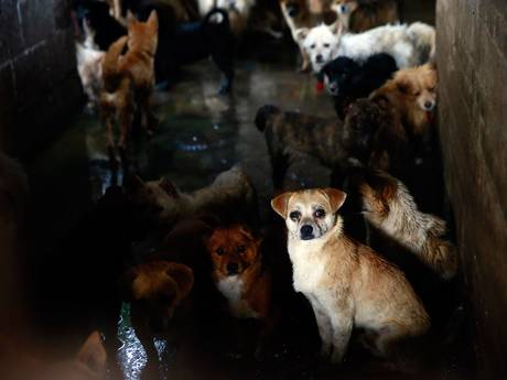 Hundreds of dogs await their own death in a slaughterhouse, while they watch as their companions are slaughtered in front of them.