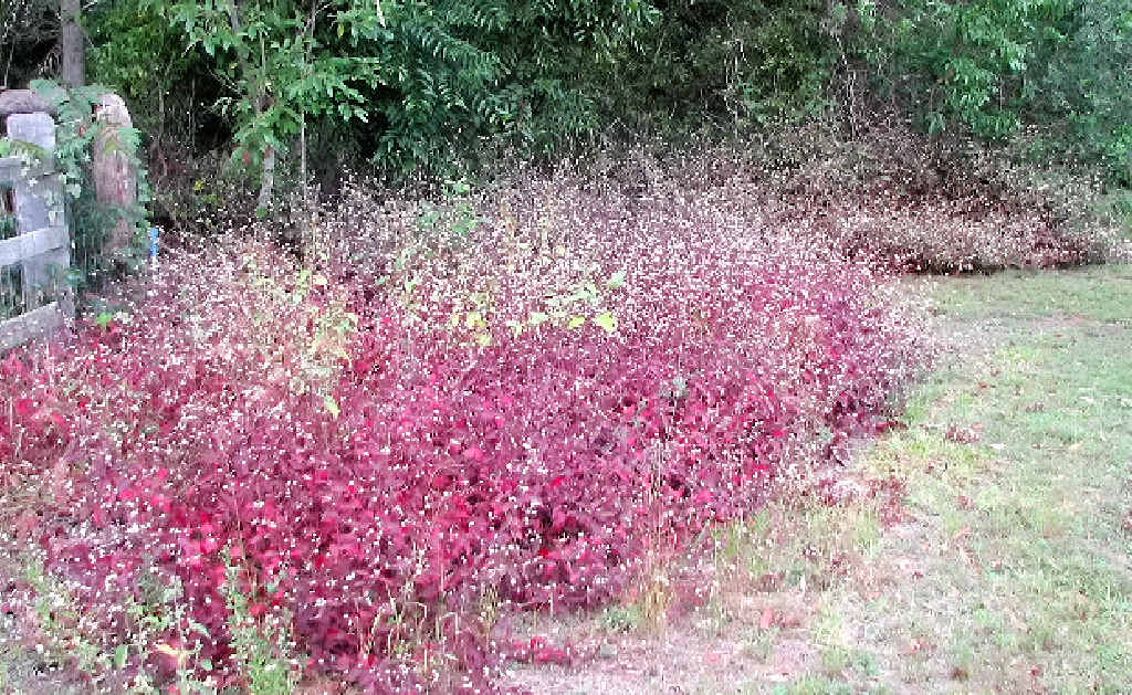INVASIVE: Purple joyweed or ruby leaf alternanthera has about 200 species worldwide native to southern Mexico, Central America, the Caribbean, tropical South America, Asia, and Australia.
