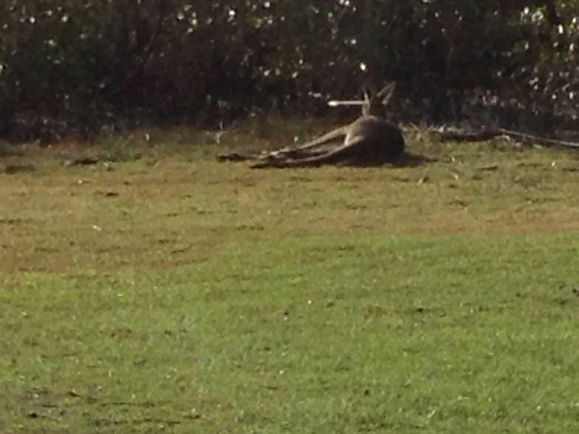 A kangaroo has been shot in the head with an arrow at Toorbul. It's been bouncing around for three days.