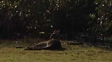 A female eastern grey kangaroo was shot in the head with an arrow at Toorbul.