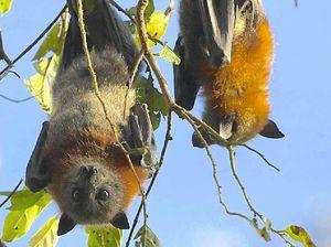 Council's flying fox levy driving greenies batty