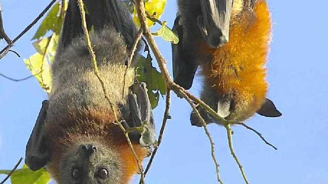 SLAMMED: Sunshine Coast Environment Council has urged Coast councillors to stop the flying fox dispersal program.