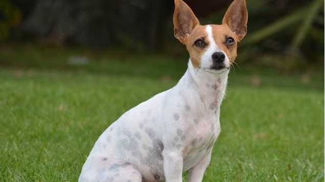 Miniature fox terrier fans are in for a treat today if visiting Sawtell Public School.