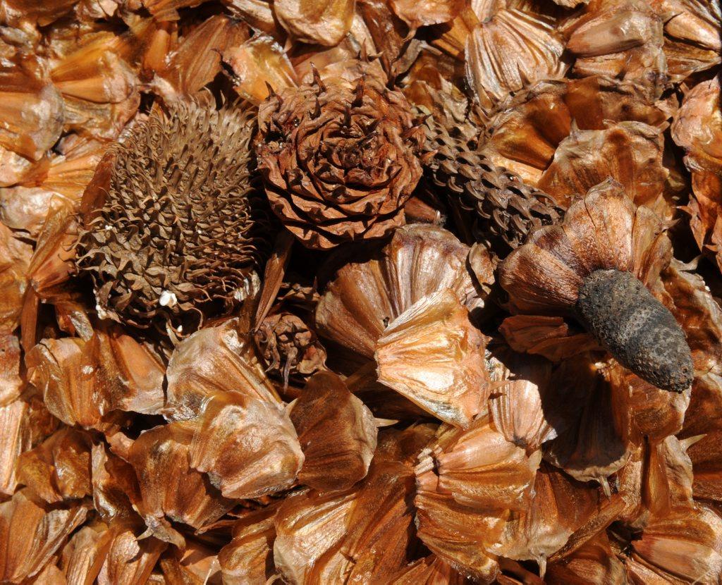 Hoop pine seeds