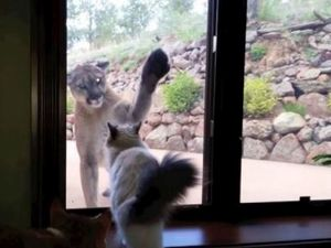 VIDEO: House cat unimpressed by enormous mountain lion