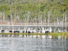 A flock of pelicans stop for a chat on the edges of Lake Awoonga.
