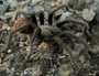 Discovery of 25,000 diving tarantulas in Northern Territory