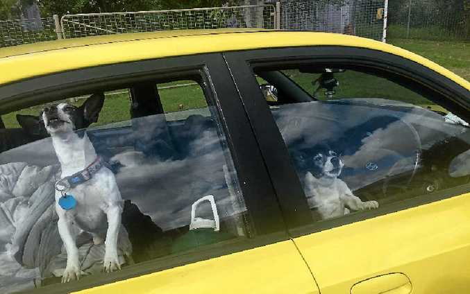 LEFT IN THE CAR: Two dogs, which appear to be miniature fox terriers, have allegedly been left in a car in a street in Maryborough for about three days, only periodically being taken out of the vehicle.