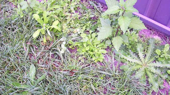 WEED WARS: Winter is the perfect time to wage your war on weeds in your backyard or lawn.