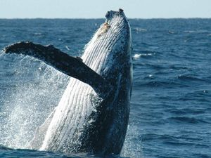 Hervey Bay declared No.1 whale spot on planet