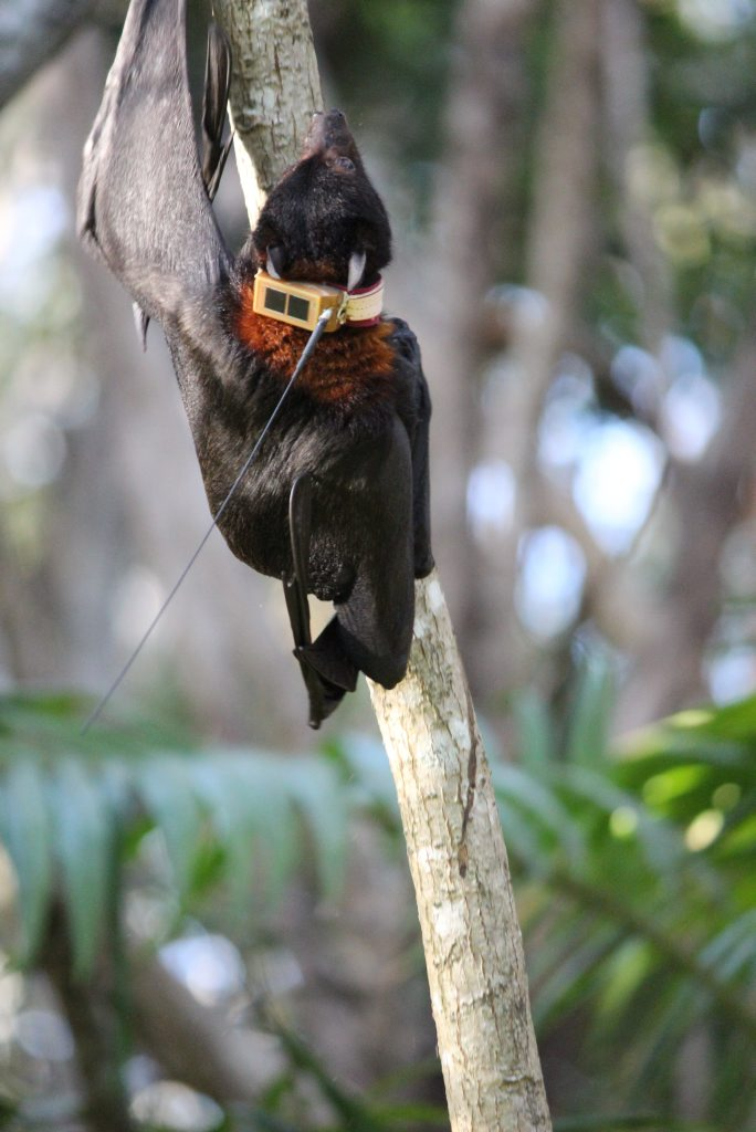 GOING BATTY: Monitered flight paths of 10 Flying foxes showed no consistency to their movements.