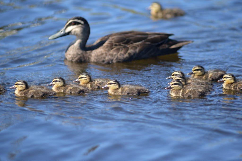 Spring ducklings at Nelson Park, Alexandra Headland. Photo: Warren Lynam / Sunshine Coast Daily