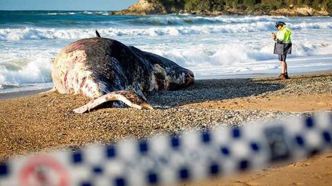 STSURF IMAGES: Sad to see decent sized whale has washed up on a #coffscoast beach this morning. Whale gurus are saying that its only a juvenile as well (still pretty big).... it had some large bites marks out of it too... I wouldn't be surfing anywhere near Sapphire Beach this weekend Swellnet