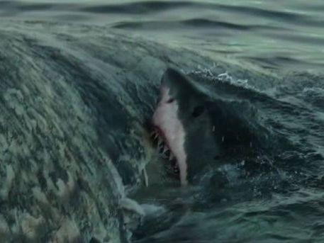 A grey white shark feeding on a sperm whale before it washed up on a Coffs Coast beach.