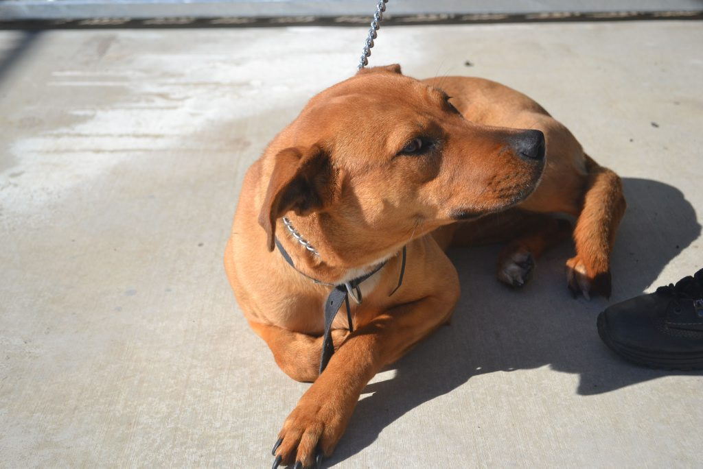 This female, six to seven month old ridgeback is friendly but a little shy. She is waiting at the Drew St Dalby pound for a new home.
