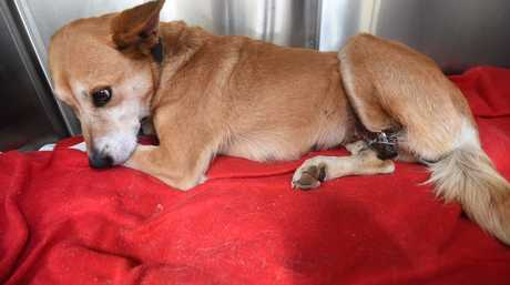 Jill, the dingo cross, was badly mutilated in a suspected abduction, returning to the owners house in Casino missing her left foot.