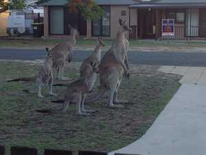 Drivers warned to watch out for roos