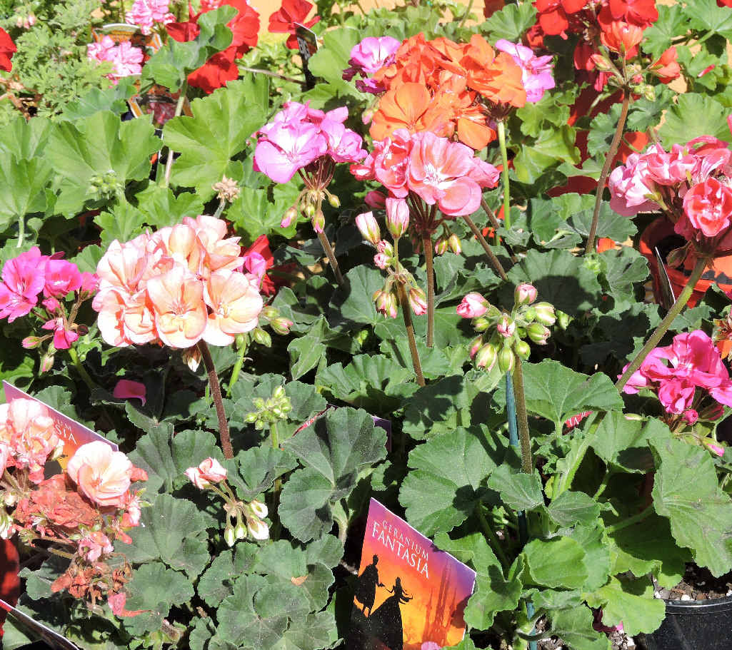 Winter is a good time to plant geraniums