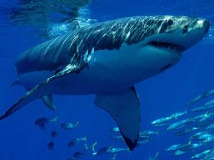 Greens call for Labor to change shark control program