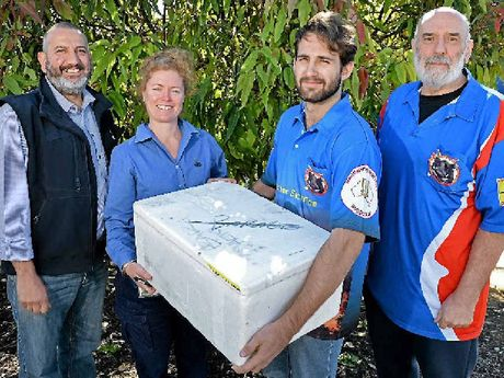 CHAMPION EFFORT: Gympie Regional Council representative Dimitri Scordalides and lands protection officer Bree Galbraith, with Jacob Pilkington and pig hunt promoter Ron Owen at the council's John St Depot, where the snouts were handed over.