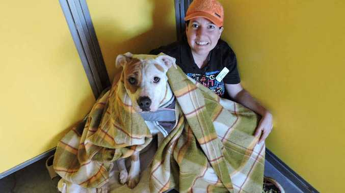 CHILLY PAWS: Two-year old Aussie bulldog-cross American Staffy, Rogue, would like to keep warm this winter, with RSPCA volunteer Michelle McGregor. Rogue is one of many friendly faces at the Mount Bassett RSPCA and is also up for adoption.