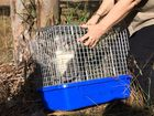 Riley the koala was released back into the wild by Ipswich Koala Protection Society member Maureen Hall at Willowbank yesterday. Photo: Andrew Korner / The Queensland Times