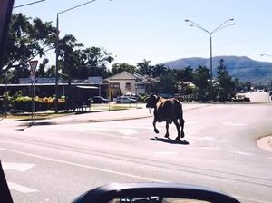 VIDEO: Watch council and police try to catch cow on the run