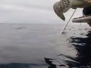 underwater vision, Stormy the green sea turtle