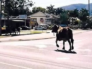 Loose cow catch is udderly unbelievable