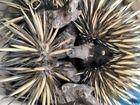 WILDLIFE RESCUE: This echidna was found at the Rio Tinto Alcan Yarwun carpark.