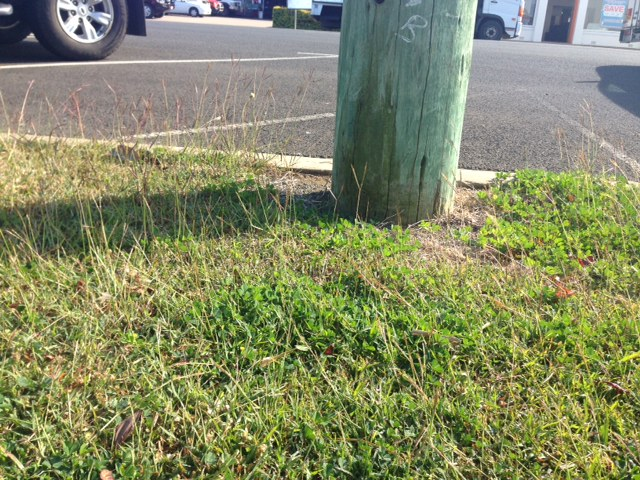 Bahia Grass (Paspalum notatum).