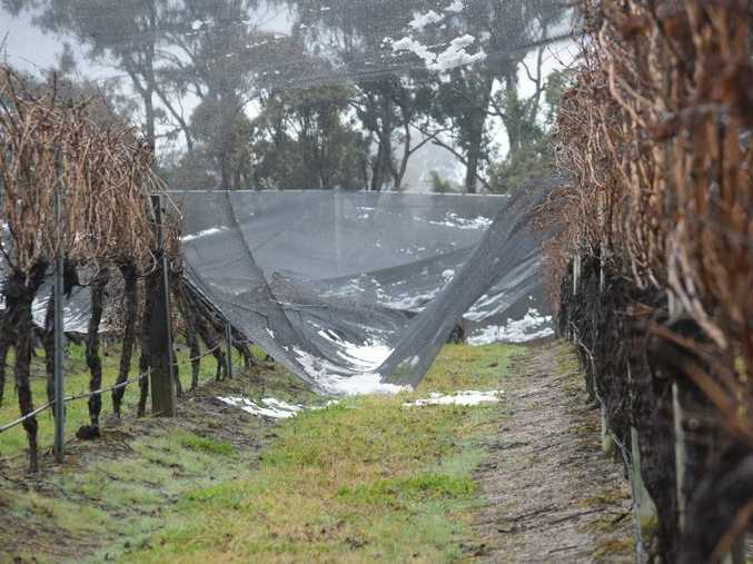 RUINED: The hail nets at Robert Channon Wines came crashing down on to the Vineyard during the snow.