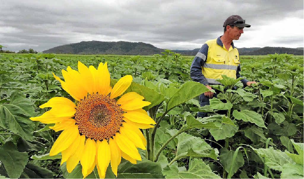 Simon Mattson in his sunflower crop at Marian.