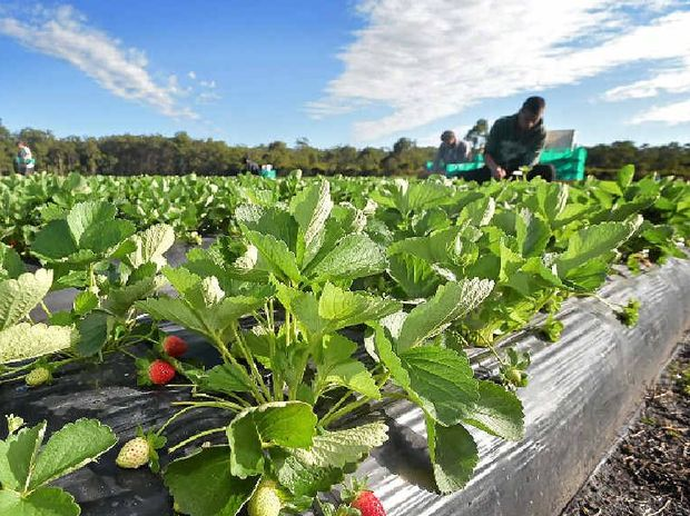 QUESTIONS ASKED: Two former Caboolture strawberry farm workers have accused their employers of lying about wages and forcing them to live in overcrowded accommodation.
