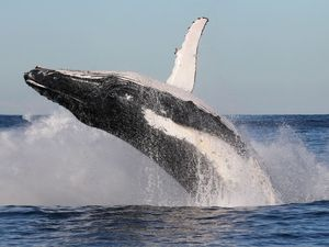 No sight of Migaloo in whale migration
