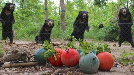 SAFE AND WELL: Sun bears spot a delicious treat.