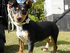 HOME NEEDED: Toby is a five-month-old desexed male fox terrier mixed breed.