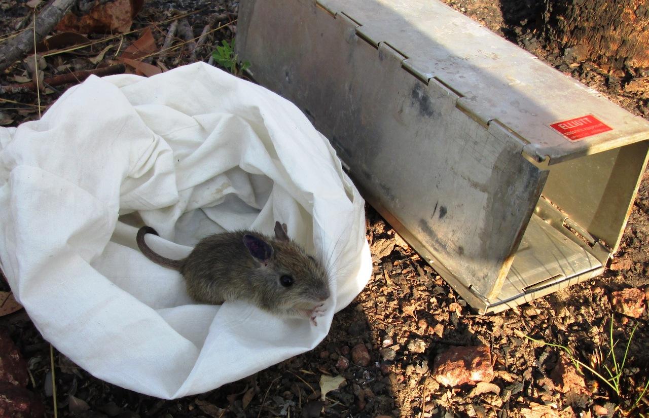Brushtailed rabbit-rat