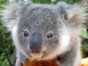 Koala care taught in workshops