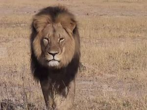 Dentist who killed Cecil the lion plans return to work