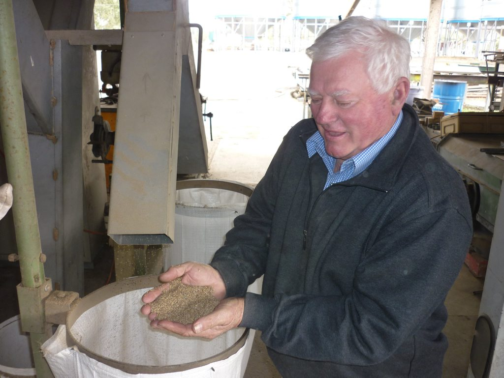 Seed export was a mainstay of the Larsson's family business, Mara Seeds - now controlled by Stuart's son Ross. These days thee income stream is not so grteat, but here Stuart Larsson samples cleaned setaria seed destined for Argentina. Photo Jamie Brown / Northern Star