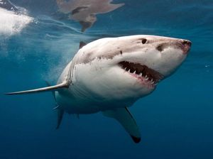 Emergency! 5m shark threatens kayaker off the coast