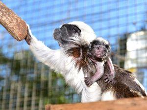 Cheeky little monkeys join Queensland Zoo family
