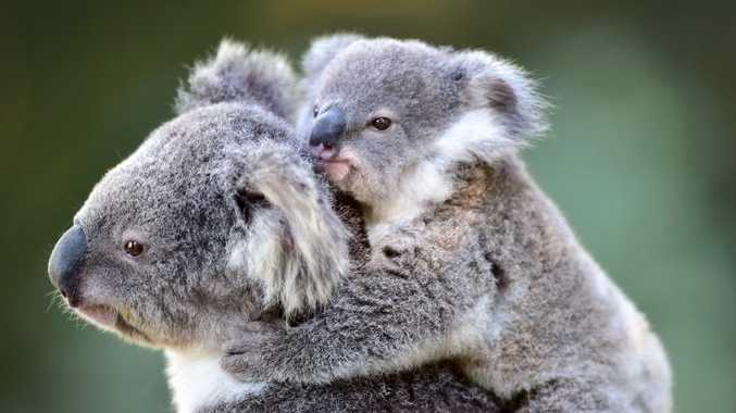 Bring the family and help spot a koala.