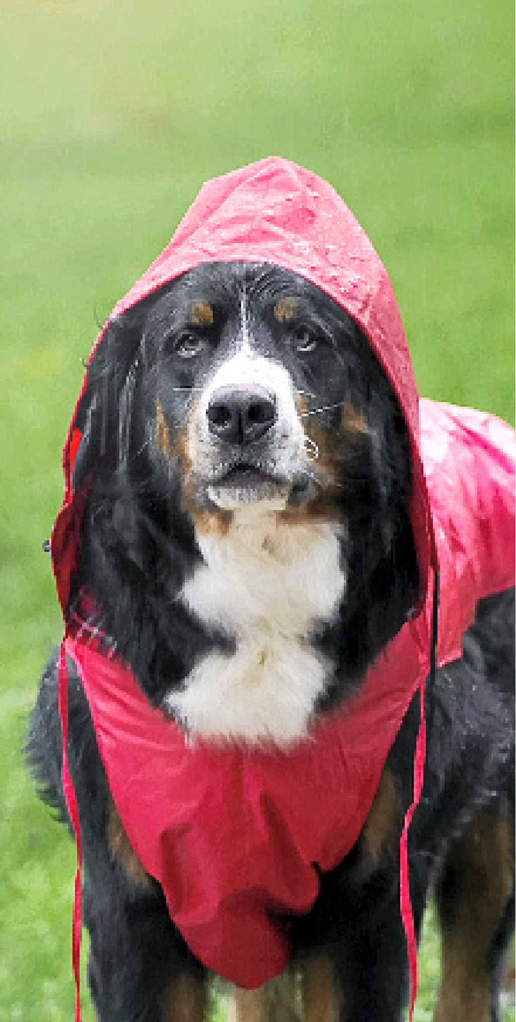 ABOVE: Bernese mountain dog dressed for rain.