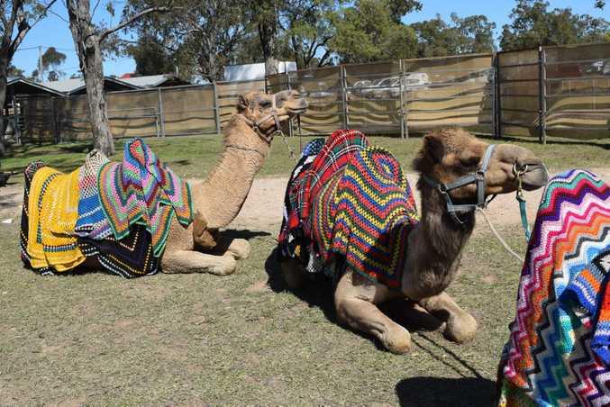 QUIRKY CREATURES: Camels are unique animals.